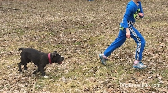 A blue nose American Bully Pit puppy is running across a field to try and catch up to a running child.