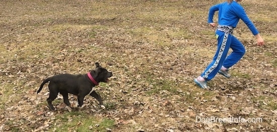 A child in blue is running across a field and running behind her is a blue nose American Bully Pit puppy