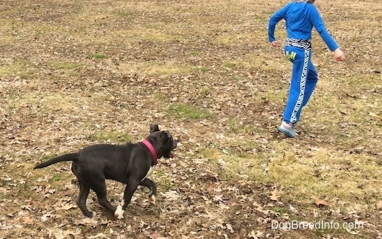 A blue nose American Bully Pit puppy is running after a child dressed in blue who is running through a field.