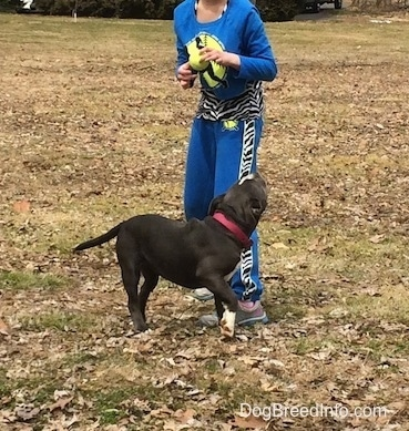 A child in blue is standing in grass and in front of her is a blue nose American Bully Pit puppy that is looking up.