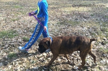 A kid in blue is walking across a field with a brown black and white Boxer.