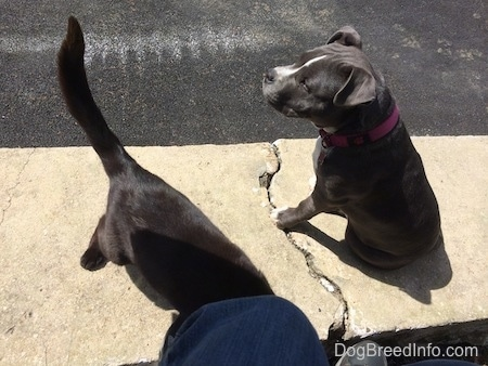 A blue nose American Bully Pit puppy is sitting on a concrete stone wall and walking off of the wall is a black cat.