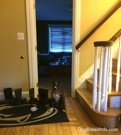 A blue nose American Bully Pit puppy is sitting on a Penn State University door mat next to a line of boots.