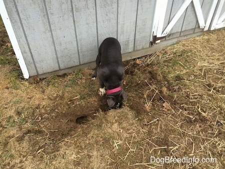 A blue nose American Bully Pit puppy is nosing around in a hole.
