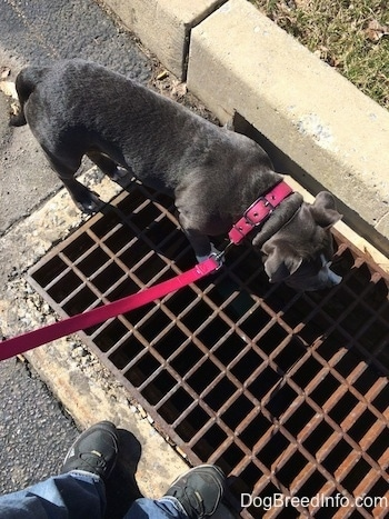 A blue nose American Bully Pit puppy is standing on a storm grate in the street.