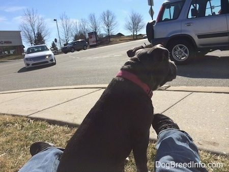 A blue nose American Bully Pit puppy is sitting in grass and in between a persons leg watching the cars on the road drive by.