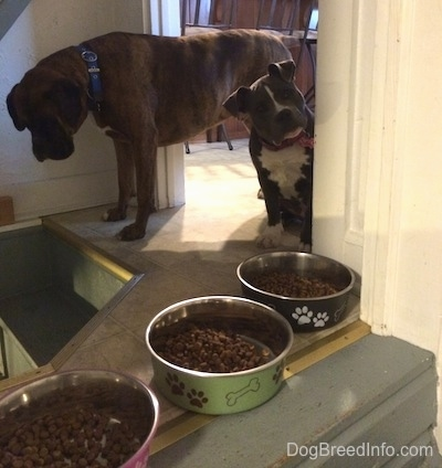 A brown with black and white Boxer is looking down a staircase. A blue nose American Bully Pit is looking forward and her head is tilted to the right. There are three bowls filled with dog food on the top of a step next to them.
