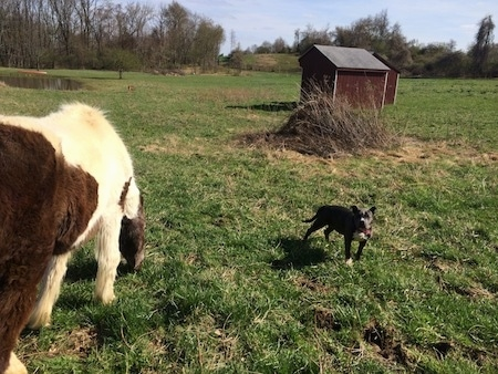 A brown and white Horse is eating grass and to the right of her is a blue nose American Bully Pit puppy who is standing and looking forward There are two barn red lean-tos across the field.