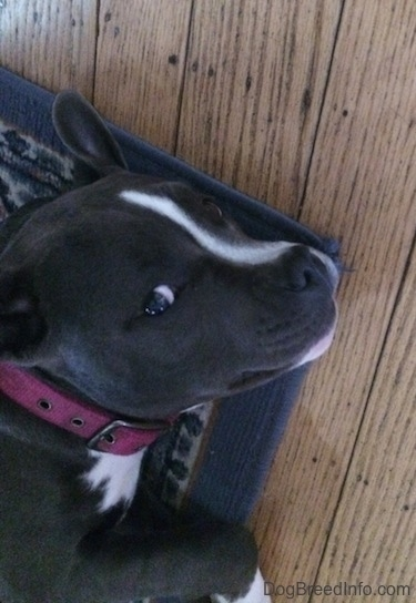 Close up - A blue nose American Bully Pit puppy is laying on her left side on a rug and she is looking up at the person with the camera.