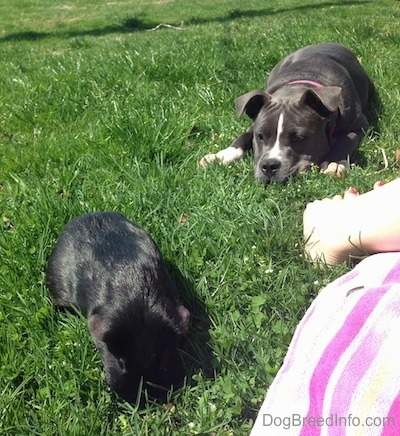 A blue nose American Bully Pit puppy is laying down in grass and looking over at a black guinea pig who is on the ground in front of her.