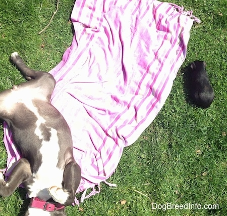 A blue nose American Bully Pit puppy is sleeping on her back belly-up with her front paws in the air. There is a black Guinea Pig laying in front of a pink and purple towel that the dog is on.