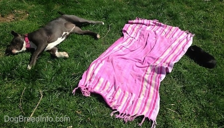 A blue nose American Bully Pit puppy is sleeping on her right side in grass. There is a pink and purple towel next to her and on the other side of the towel is a black guinea pig who is in the grass.