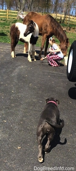 The backside of a blue nose American Bully Pit puppy that is walking across a blacktop surface towards a girl who is placing an item on the ground in front of a horse and a pony.