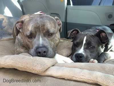 Close up - A blue nose Pit Bull Terrier is laying next to a blue nose American Bully Pit puppy on a dog bed in the backseat of a van.