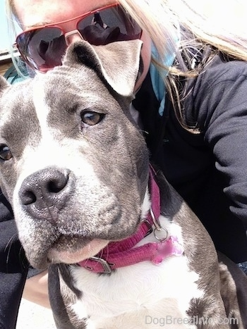 Close up - A blonde haired girl is hiding behind the head of a blue nose American Bully Pit puppy. The puppy is looking down and to the left.