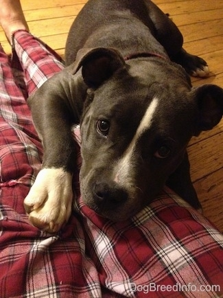 Close up - A blue nose American Bully Pit puppy is laying on the leg of a person wearing maroon plaid pants sitting on a hardwood floor.