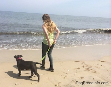 A girl in a green shirt is holding the leash of a blue nose American Bully Pit puppy and leading her to the water at a beach.