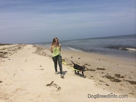 A girl in a green shirt is leading a blue nose American Bully Pit puppy on a walk across a beach.