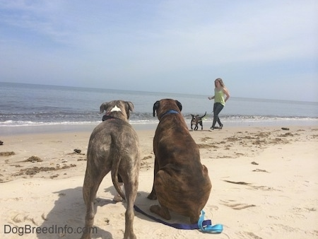 The backside of a blue nose Pit Bull Terrier and a brown with black and white Boxer are standing and sitting in sand and watching a blue nose American Bully Pit puppy being walked across the beach.