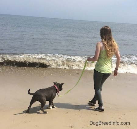 A blue nose American Bully Pit puppy is very cautious about walking towards the waves. A girl in a green shirt is holding her leash.