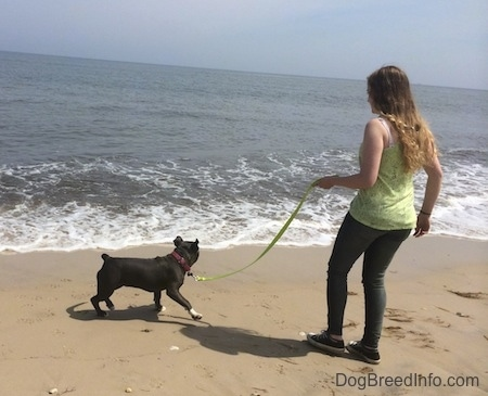 A blue nose American Bully Pit puppy is moving away from the waves, closer to the girl in a green shirt holding her leash.