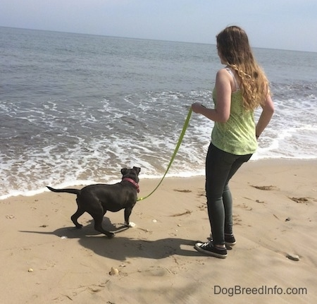 A blue nose American Bully Pit puppy is walking towards a descending wave. There is a girl in a green shirt holding the puppies leash.