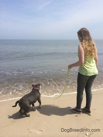 A blue nose American Bully Pit puppy is jumping away from a wave that is coming towards her. A girl in a green shirt is holding the puppies leash.