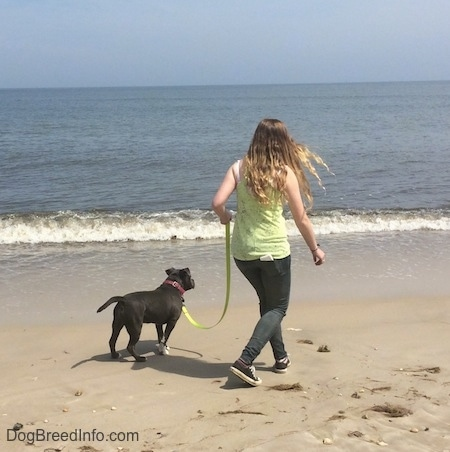 A girl in a green shirt is attempting to lead a blue nose American Bully Pit puppy closer to the descending waves.