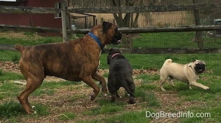 A blue nose American Bully Pit puppy, a tan with black Pug and a brown with black and white Boxer are running around each other in grass,