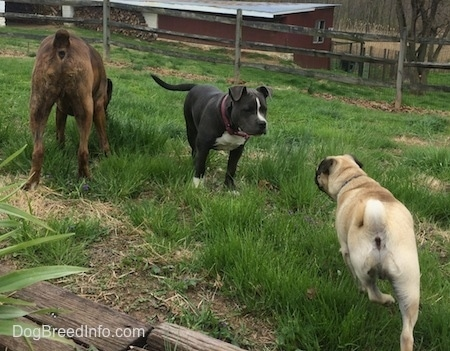 The backside of a brown with black and white Boxer that is sniffing grass. Next to the Boxer is a blue nose American Bully Pit puppy looking at a tan with black Pug.
