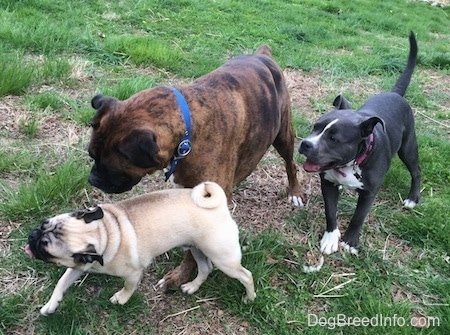 A tan with black Pug is leading a brown with black and white Boxer and a blue nose American Bully Pit puppy across a grassy yard.