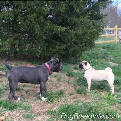 A blue nose American Bully Pit puppy is standing across from a tan with black Pug and they are standing face to face in grass. The puppies mouth is open.