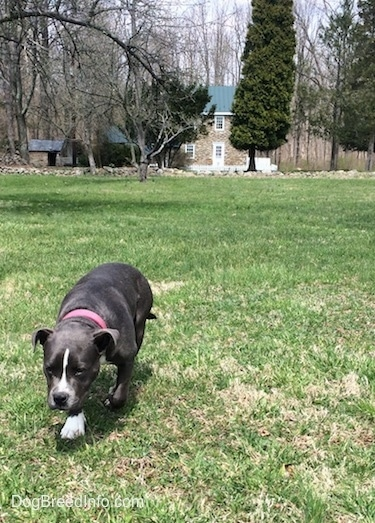 A blue nose Pit Bull Terrier is walking up a field with her head level with her body. There is an old stone farmhouse with a green tin roof in the distance.