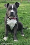 Close up - A blue nose American Bully Pit puppy is sitting in grass and it is looking forward. Her right ear is lifted up.