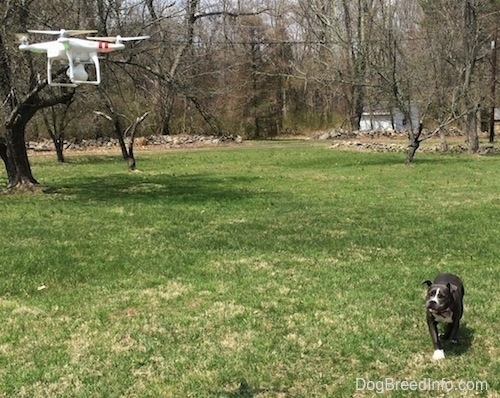 A phantom quadcopter drone is hovering over a field with a blue nose American Bully Pit puppy stalking it.