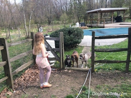 A blue nose American Bully Pit puppy is sitting next to a brown with black and white Boxer who is standing next to a blue nose Pit Bull Terrier. They are all in front of an open wooden gate of a swimming pool. There is a girl in a white shirt standing on the opposite side of the gate asking all of the dogs to stay.