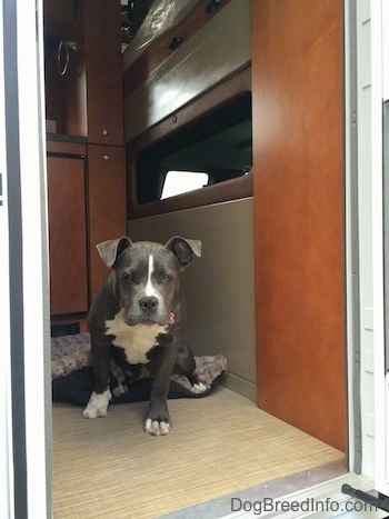 A blue nose American Bully Pit puppy is sitting in a camper and looking out of a doorway.