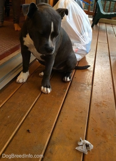 A blue nose American Bully Pit puppy is sitting on a hardwood porch and she is looking down at a piece of trash.