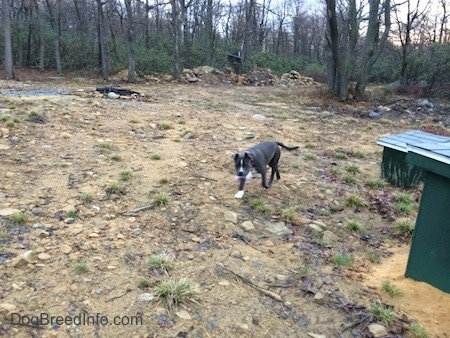 A blue nose American Bully Pit puppy is walking across a dirt field. She has a piece of trash in her mouth.