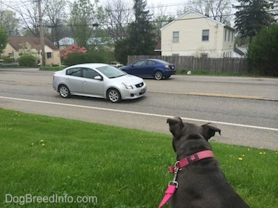 The back of a blue nose American Bully Pit that is sitting in a lawn and looking at a car driving by.