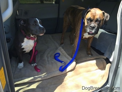 A blue nose American Bully Pit puppy is sitting on a dog bed across from a standing brown with black and white Boxer in the middle area of a mini van that has its middle seats removed.