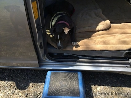 A blue nose American Bully Pit puppy is laying down on a dog bed inside of a mini van with a blue fold up step stool on the ground in front of her.