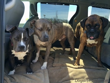 Two Dogs are standing next to a blue nose American Bully Pit puppy. They are on a dog bed and in the middle area of a mini van.