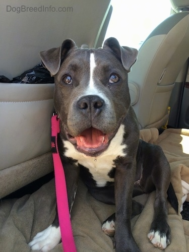 Close up - A happy-looking, big headed, blue nose American Bully Pit puppy is sitting on a dog bed in the back of a vehicle. Her mouth is open and it looks like she is smiling.