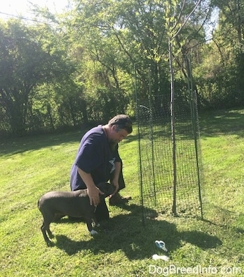 A blue nose American Bully Pit puppy is standing in grass next to a man in a purple shirt. There is a tree with a fence around it. The man in a purple shirt is next to an apple tree and is petting the side of a American Bully Pit puppy.