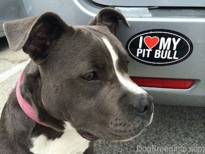 Close up - The face of a blue nose American Bully Pit puppy sitting on a blacktop surface behind a vehicle. On the vehicle is a bumper sticker that reads - I HEART MY PIT BULL.
