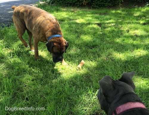 A brown with black and white Boxer is standing in grass sniffing around. There is a bone next to him. A blue nose American Bully Pit is looking at the Boxer.
