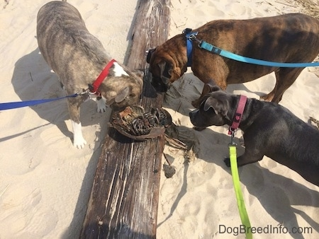 Three Dogs are sniffing the corpse of a sand crab on top of a log.