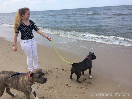A girl in white pants is holding the leash of a blue nose American Bully Pit that is looking at a coming wave. Behind the Bully Pit is a blue nose Pit Bull Terrier looking to the right.