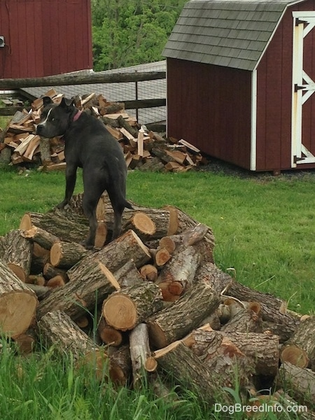 The back of a blue nose American Bully Pit standing up on a pile of logs and looking back.